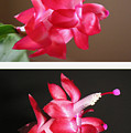 Holiday Cactus - Day And Night by Lucyna A M Green