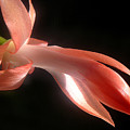 Holiday Cactus - In Silhouette by Lucyna A M Green