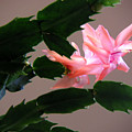 Holiday Cactus - On Wings by Lucyna A M Green