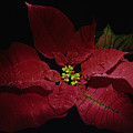Holiday Poinsettia by Georgia  Brauer