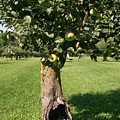 Hollow Apple Tree by Laurie Eve Loftin