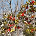 Holly Berries In The Snow II by Kristia Adams