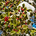 Holly Berries In The Snow  by Kristia Adams