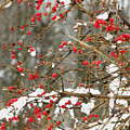 Holly Berries by Martie DAndrea