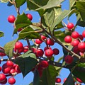 Holly Berries On A Wintry Day I by Rauno Joks