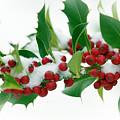 Holly Berries On White by Sharon Talson
