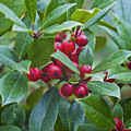 Holly Berries by Terry Anderson