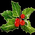 Holly by Carol Blackhurst