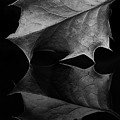 Holly Leaf by Morgan Wright