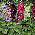 Hollyhock Alcea Rosea Flowers by VisionsPictures