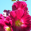 Hollyhock by Peggy McDonald
