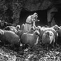 Holy Land: Shepherd, C1910 by Granger