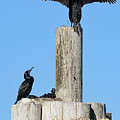 Home Sweet Home Brandt's Cormorant Style by Susan Wiedmann