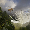 Honey Bee Apis Mellifera Approaching by Mark Moffett