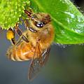 Honeybee by Brad Christensen