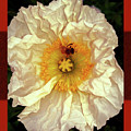 Honey Bee In Stunning White And Gold Flower by Shirley Anderson