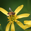 Honey Bee Mine by Gregory Jeffries