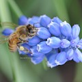 Honey Bee On Blue Flowers by Barbara Treaster