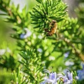 Honey Bee On Bush by Eric Strickland