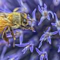 Honey Bee On Globe Allium by Constantine Gregory