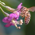 Honey Bee On Goji Berry Flower by Jivko Nakev