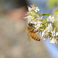 Honey Bee On Herb Flowers by Marv Vandehey