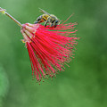 Honey Bee by Tam Ryan