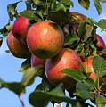 Honey Crisp Apples, Thomson's Orchard, New Gloucester, Me #50035 by John Bald