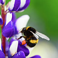 Honey Nut Lupin by Kevin Williams