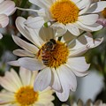 Honeybee And Daisy Mums by Kathryn Meyer