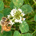 Honeybee Drinking From Clover Bloom   Summer  Indiana by Rory Cubel