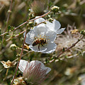 Honeybee Gathering From A White Flower by Katherine Nutt