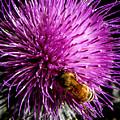 Honeybee On Thistle Blossom by Brian Tada