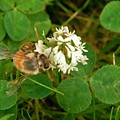Honeybee On Clover Looking At Camera by Rory Cubel