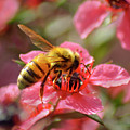 Honeybee On Tea Tree Blossom by Brian Tada