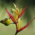 Honeyeater On Bird Of Paradise by Rodney Appleby