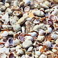 Honeymoon Island Shells by Carol Groenen