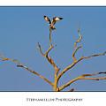 Honeymoon Osprey by Stephanie Hayes