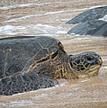 Honu At Hookipa by Randy Hall