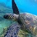 Honu Hello by Rocky Maes