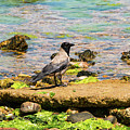 Hooded Crow by Bob Phillips