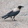 Hooded Crow by Jouko Lehto