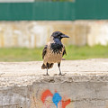 Hooded Crow On A Wall by Alain De Maximy