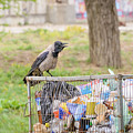 Hooded Crow With Garbage by Alain De Maximy