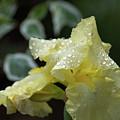 Hooded Iris by Carol Lloyd