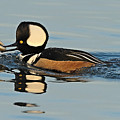 Hooded Merganser And Eel by William Jobes