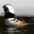 Hooded Merganser Maine by Sheila Price