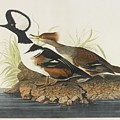 Hooded Merganser by MotionAge Designs