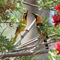 $250 - 16x20 Canvas - Hooded Orioles 7513-052215-2cr by Tam Ryan