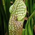 Hooded Pitcher Plant by Bill Morgenstern
